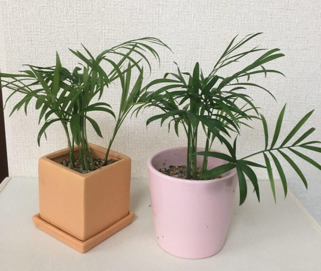 テーブルヤシ、観葉植物の土を使用