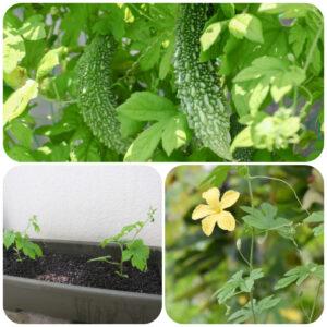 Bittergourd-plant