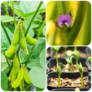 edamame-plant