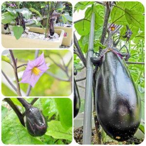 eggplant-plant