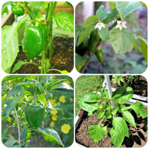 greenpepper-plant