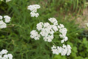 herbs-achilleamillefolium01