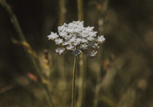 herbs-carumcanvi01