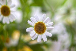 herbs-feverfew01
