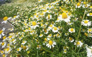 herbs-pyrethrum01