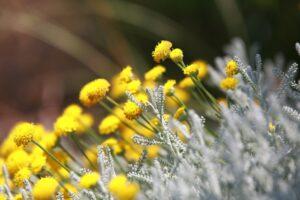 herbs-santolina01