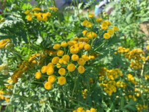 herbs-tansy01