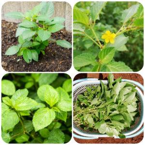 moroheiya-plant