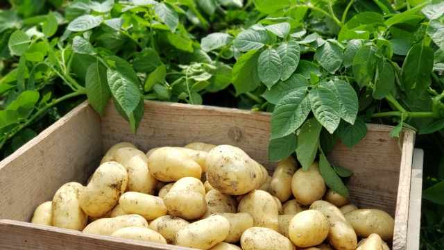 potato-top