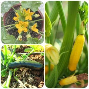 zucchini-plant