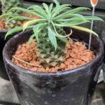 euphorbia-bupleurifolia