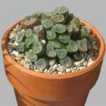 haworthia-maughanii
